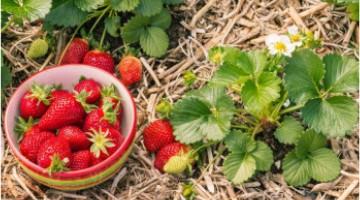 Comment planter des fraisiers en début d'automne et les entretenir ?